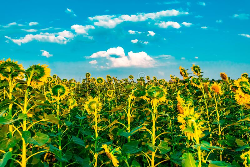 Mooi helder zonnebloemgebied met blauwe hemel en witte wolkenachtergrond De zomer bloeiende gele bloem Horizontale banner royalty-vrije stock foto