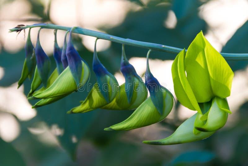 Mooi heldergroen en blauw of puple Rattlepod - ook nu als Crotalaria - installatie royalty-vrije stock afbeeldingen