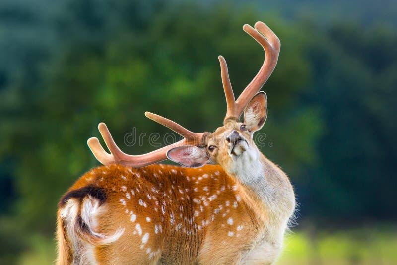 Mooi hertenportret stock foto