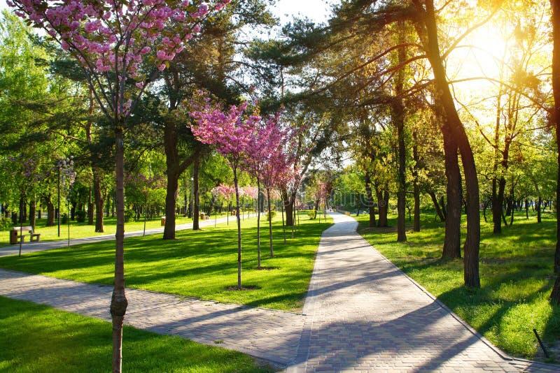 Mooi het parklandschap van de ochtendlente met kersen bloeiende bomen de lente stock afbeeldingen
