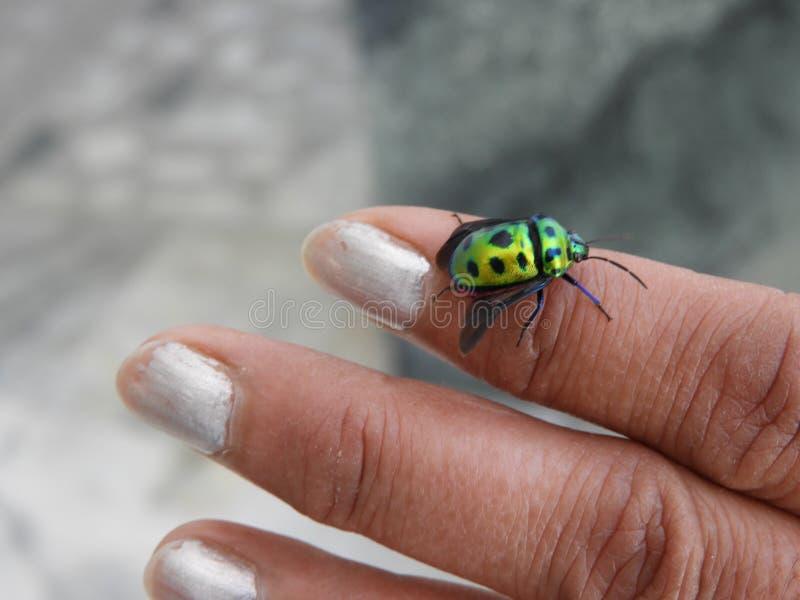 Mooi insect op HAND, Kever stock afbeeldingen