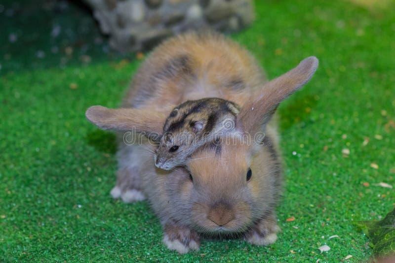 Mooi, jong, tricolor, weinig konijn en Jungar-hamster Vrienden sinds kinderjaren stock foto's