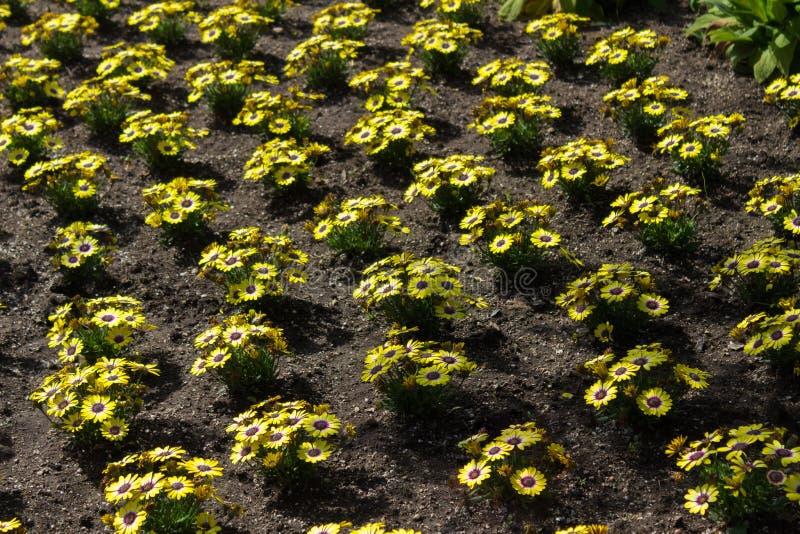 Mooi in kaart gebracht bloembed van gele Afrikaanse Podia stock afbeelding