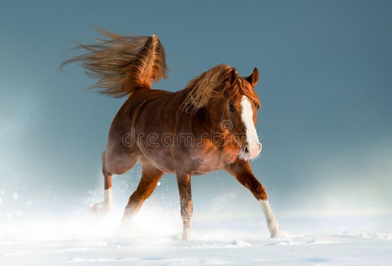 Mooi kastanje Arabisch paard in de winter royalty-vrije stock foto