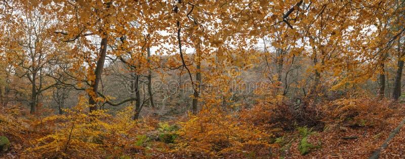 Mooi kleurrijk trillend panorama van bos bosautumn fall-landschap in Piekdistrict in Engeland stock fotografie