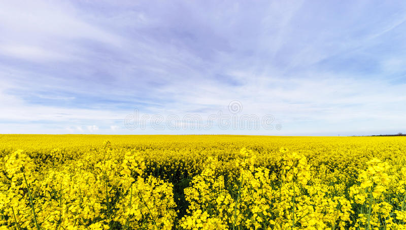 Mooi koolzaad die, geel gebied van verkrachting bloeien royalty-vrije stock fotografie