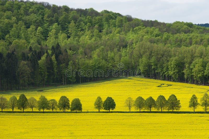 Mooi landelijk landschap van bloeiend raapzaad met bos ver weg royalty-vrije stock foto