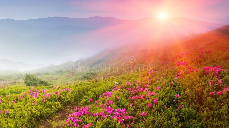Mooi landschap in de de lentebergen Mening van rokerige die heuvels, met bloesem wordt behandeld rododendrons royalty-vrije stock afbeeldingen