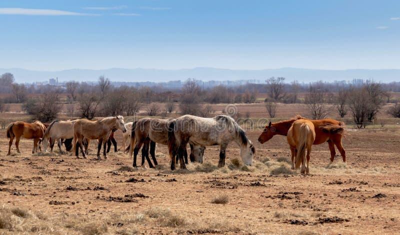 Mooi landschap, de kudde van paarden die in fild weiden, in het landbouwbedrijf, platteland royalty-vrije stock afbeelding
