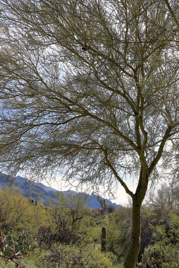 Mooi landschap met een boom op voorgrond in Tucson, Arizona stock fotografie