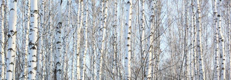 Mooi landschap met witte berken royalty-vrije stock fotografie