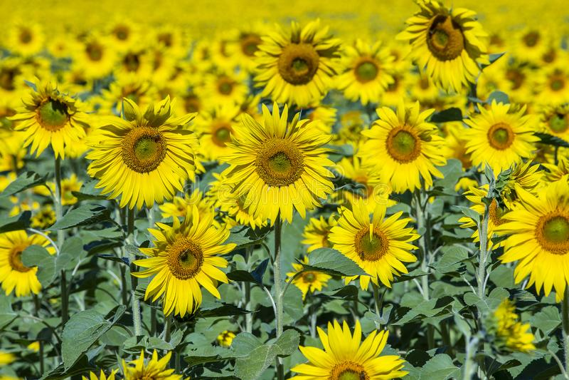 Mooi landschap met zonnebloemgebied Gebied van zonnebloemenachtergrond stock afbeelding