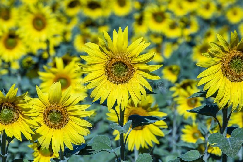 Mooi landschap met zonnebloemgebied Gebied van zonnebloemenachtergrond stock foto's