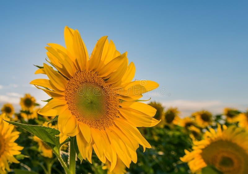 Mooi landschap met zonnebloemgebied over bewolkte blauwe hemel en heldere zonlichten royalty-vrije stock fotografie