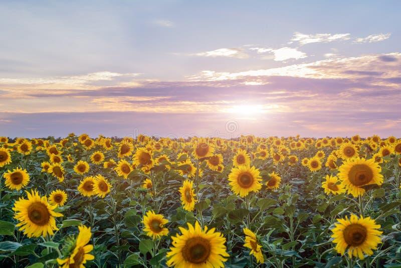 Mooi landschap met zonnebloemgebied over bewolkte blauwe hemel en heldere zonlichten stock afbeelding