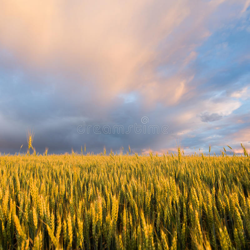 Mooi landschap Tarwegebied en regenwolk bij zonsondergang stock foto's