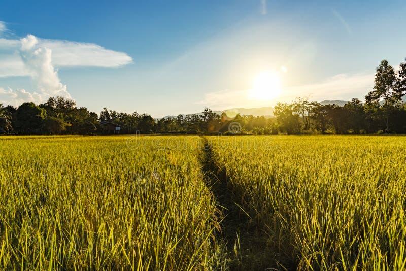 Mooi Landschap van gouden padieveld en zonsondergang voor backgro royalty-vrije stock fotografie