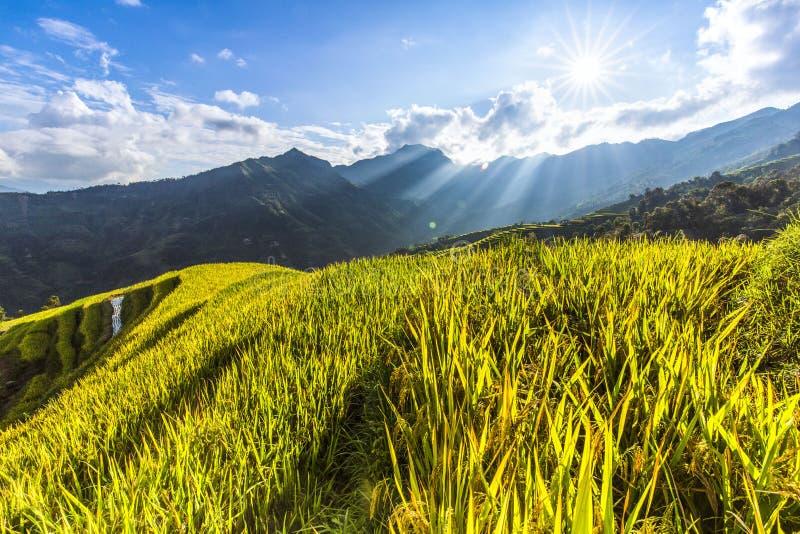 Mooi Landschap van gouden padieveld of padiegebied met blauwe hemel en wolk stock foto's