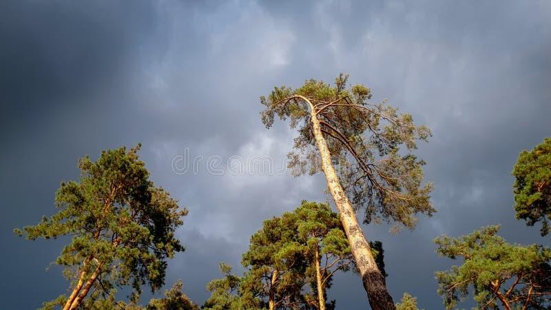 Mooi landschapsbeeld van hoge pijnboomboom in bos tegen donkere hemel met zware regenachtige wolken royalty-vrije stock afbeeldingen