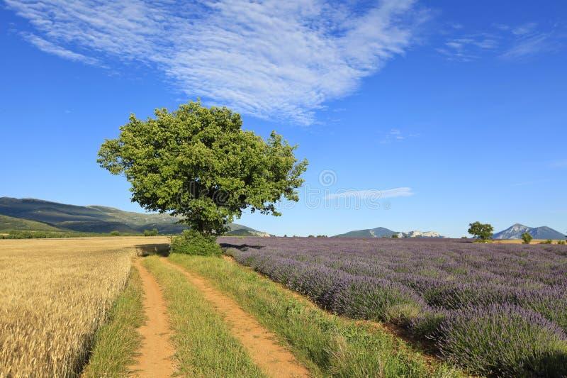 Mooi lavendel en tarwegebied stock afbeeldingen