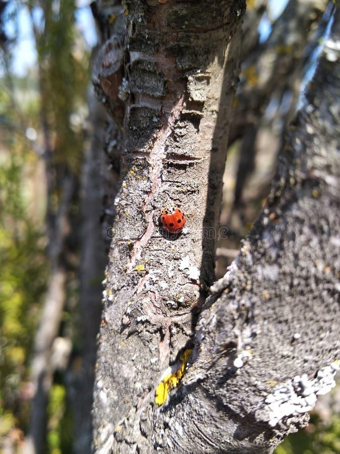 Mooi Ledybuginsect stock fotografie