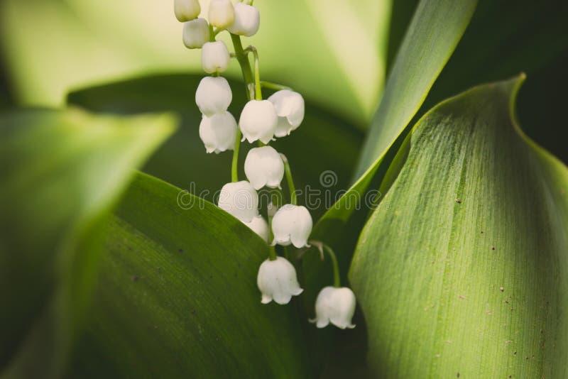 Mooi lelietje-van-dalen in heldergroen gras De close-up van het lelietje-van-dalen De wilde lente bloeit concept stock afbeelding