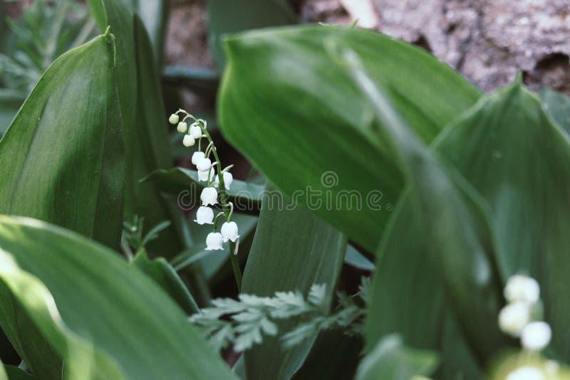 Mooi lelietje-van-dalen in heldergroen gras De close-up van het lelietje-van-dalen De wilde lente bloeit concept stock afbeeldingen