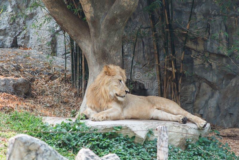 Mooi Lion Caesar in de dierentuin stock foto
