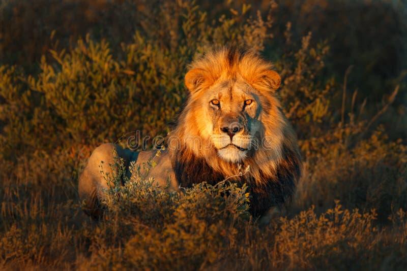 Mooi Lion Caesar in het gouden gras van Masai Mara, Kenia stock foto