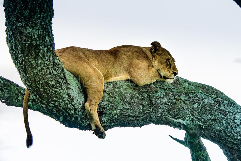 Mooi Lion Caesar in het gouden gras van Masai Mara, Kenia royalty-vrije stock afbeelding
