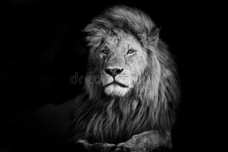 Mooi Lion Romeo II royalty-vrije stock afbeelding