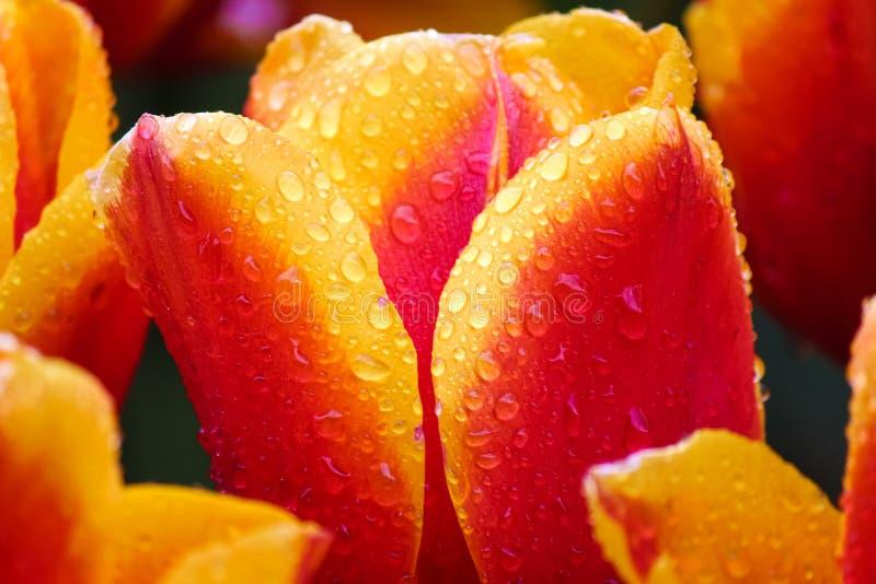 Mooi macrobeeld van rode gele tulp met dalingen van ochtenddauw op multi-colored bloemblaadjes Macrobloemen De tulp van Holland stock afbeelding