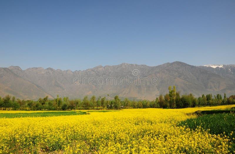 Mooi mosterdgebied in Kashmir, India royalty-vrije stock afbeeldingen