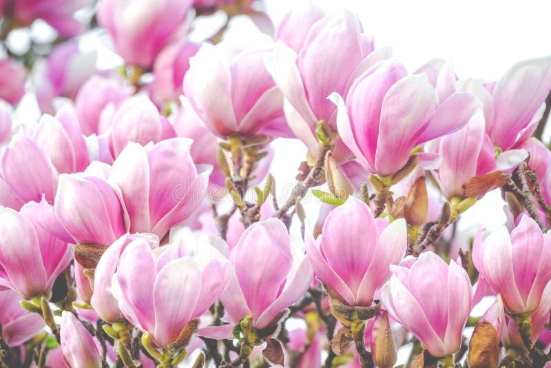 Mooi nam magnoliabloesem in de lente toe royalty-vrije stock afbeelding