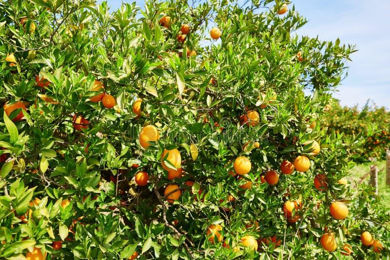 Mooi oranje bosje in Noordelijk Marokko stock fotografie