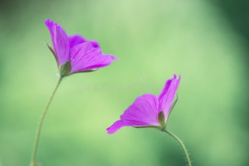 Mooi paar purpere bloemen op een zachte achtergrond royalty-vrije stock foto