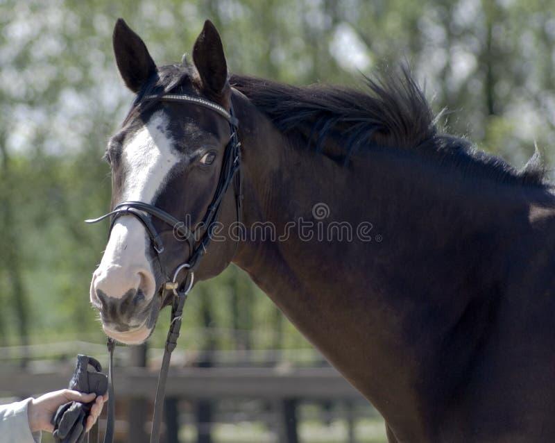 mooi paardhoofd stock afbeelding