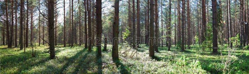 Mooi panorama van het bos in de zomer pijnboombos royalty-vrije stock fotografie