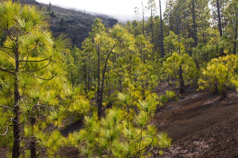 Mooi panorama van pijnboombos met zonnige de zomerdag Naaldbomen Duurzaam ecosysteem Het lopen op vulkaan stock fotografie