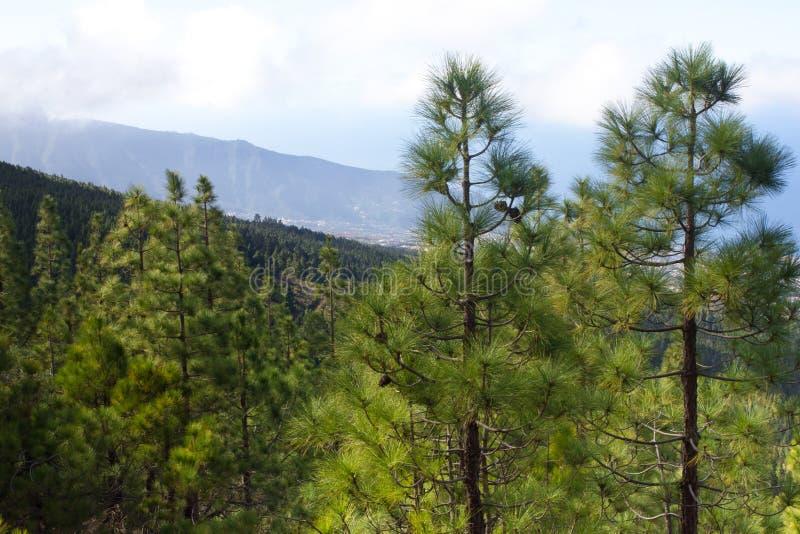 Mooi panorama van pijnboombos met zonnige de zomerdag Naaldbomen Duurzaam ecosysteem Het lopen op vulkaan royalty-vrije stock foto