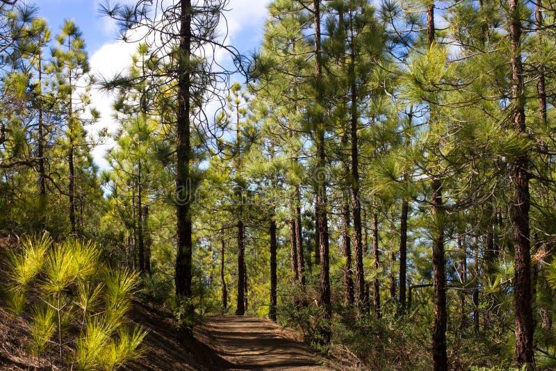 Mooi panorama van pijnboombos met zonnige de zomerdag Naaldbomen Duurzaam ecosysteem Het lopen op vulkaan stock foto's