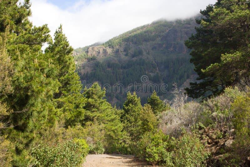 Mooi panorama van pijnboombos met zonnige de zomerdag Naaldbomen Duurzaam ecosysteem Het lopen op vulkaan stock afbeelding