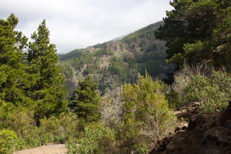 Mooi panorama van pijnboombos met zonnige de zomerdag Naaldbomen Duurzaam ecosysteem Het lopen op vulkaan royalty-vrije stock fotografie