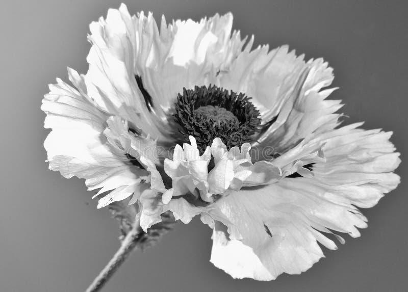 Mooi papaver zwart wit met hemel als achtergrond stock afbeelding