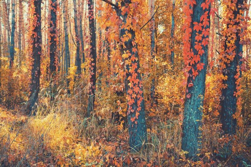 Mooi pijnboombos in de herfst stock afbeelding