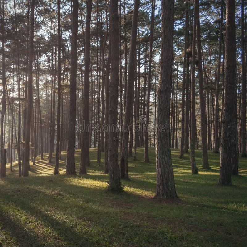Mooi pijnboombos, zonlicht, zonneschijn en groen van de grasweide deel als achtergrond 3 stock afbeelding