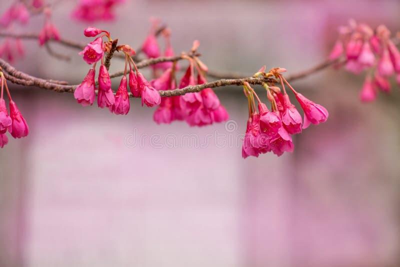 Mooi pingel bloem in Japan royalty-vrije stock afbeeldingen