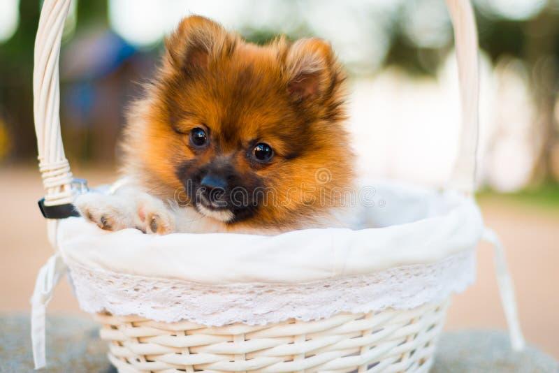 Mooi Pomeranian-puppy royalty-vrije stock foto