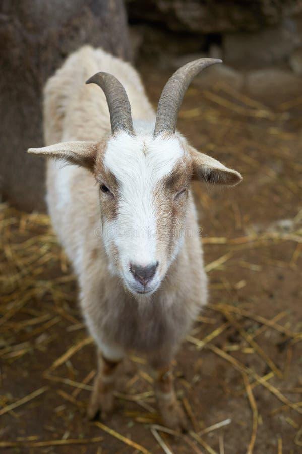 Mooi portret van de het glimlachen geit royalty-vrije stock fotografie