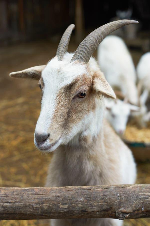 Mooi portret van de het glimlachen geit stock afbeelding